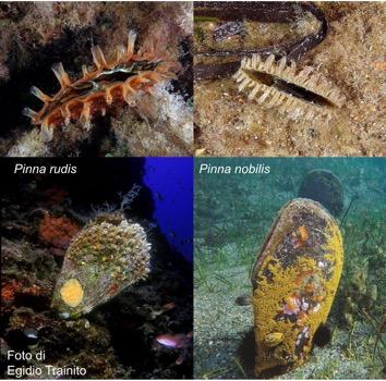 Confronto fra Pinna nobilis e Pinna rudis